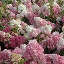 Hydrangea paniculata Vanille Fraise Plants