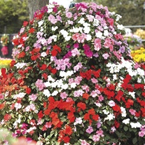 Impatiens Accent Mixed F1 Plants