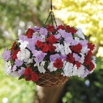 Impatiens New Guinea Divine Islander Mixed F1 Flower Plants