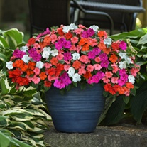 Impatiens Beacon Mixed Flower Plants