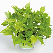 Ipomoea Sweet Georgia Light Green Plants
