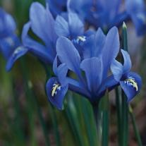 Iris reticulata Harmony Bulbs