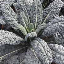 Kale Yurok (Cavalo Nero type) plants