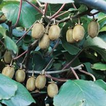 Kiwi Jenny Plant