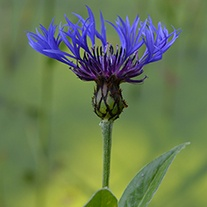 Greater Knapweed Flower Plant