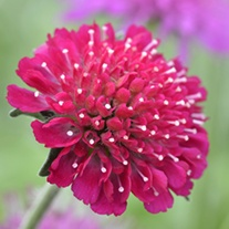 Knautia macedonica Flower Plants