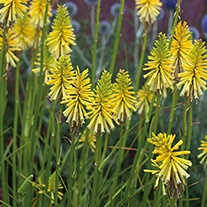 Kniphofia Brimstone Plant