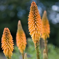 Kniphofia Fiery Red Plant