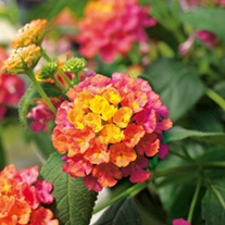 Lantana Calippo Flower Plant Collection