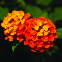 Lantana Calippo Orange Flower Plants