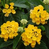 Lantana Caliippo Yellow Flower Plants