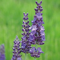 Lavender Heavenly Night Plants
