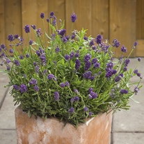 Lavender Mini Blue Plants