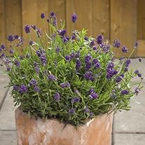 Lavender Mini Blue Plants