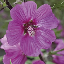 Lavatera Magenta Magic
