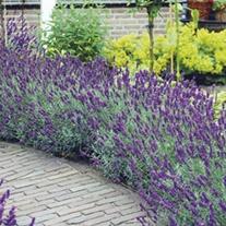 Lavender Hidcote plants