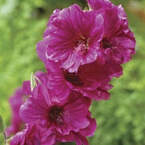 Lavatera Red Rum Plants