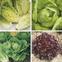 Winter Lettuce Plant Collection