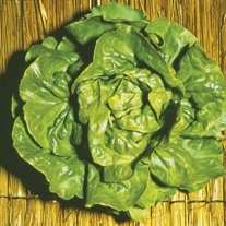 Lettuce Verpia Plants