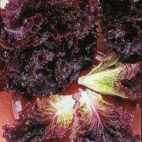 Lettuce Bijou Plants