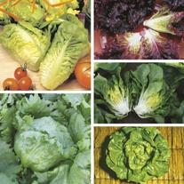 Lettuce Plant Collection