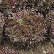 Lettuce Teide veg plants
