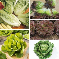 Lettuce Plant Collection veg plants