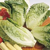Lettuce Little Gem Delight AGM Plants