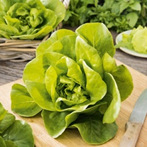Lettuce Gustav's Salad Plants
