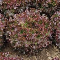 Lettuce Teide Plants