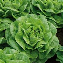 Lettuce Brighton Plants
