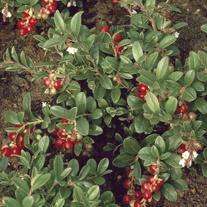 Lingonberry Plant