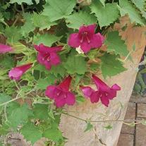 Lofos Wine Red Plants