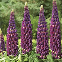 Lupin Masterpiece Plants