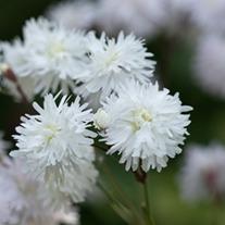 Lychnis flos-cuculi Petit Henri Plants