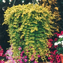 Lysimachia Aurea Plants