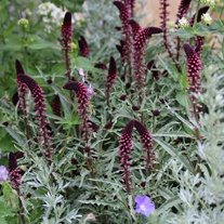 Lysimachia Beaujolais Flower Plants