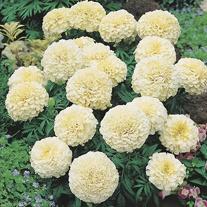 Marigold Vanilla F1 Flower Plants