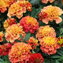 Marigold Strawberry Blonde Plants