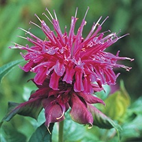 Monarda Prairie Night Plants