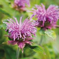 Monarda Violet Queen Plant