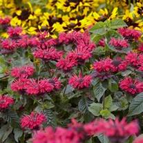 Monarda Bee Happy plants