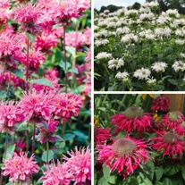 Monarda Bee Flower Plant Collection