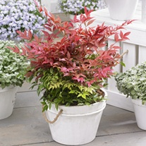 Nandina domestica Obsessed Plants