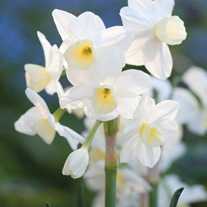 Narcissus Silver Chimes Bulbs