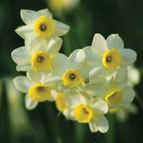 Narcissi Minnow (tazetta) Bulbs