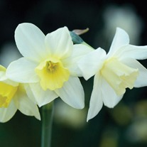 Narcissus Pueblo Bulbs