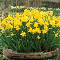Narcissus Tete a Tete Bulbs