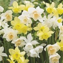 Narcissi Triandus Bulb Mix