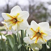 Narcissus Broadway Star Bulbs